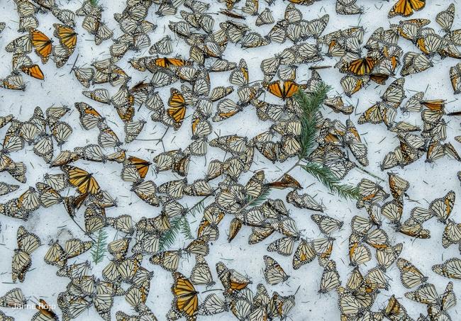 A carpet of Monarch Butterflies in Mexico on March 2015 © Jaime Rojo – Cortesía de World Press Photo 17 Valencia | Ir al evento: 'World Press Photo 17'. Exposición de Fotografía en Fundación Chirivella Soriano / Valencia, España
