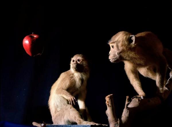 Macado de Darwin, Macaco de Newton