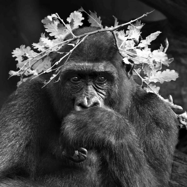 Serie Primates, 2014 121 x 145 cm. Platinotipia