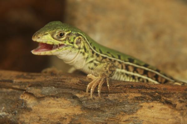 Saurios con estilo. Nombre común: Lagartija verde de cuatro dedos. Nombre científico: Teius oculatus. Foto Marcelo Casacuberta