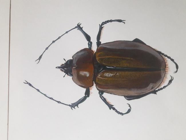 Escarabajo Galafa sp.
